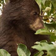 Bear Cub In Apple Tree3 Poster