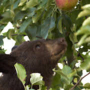 Bear Cub In Apple Tree4 Poster