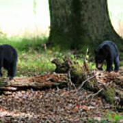 Bear Cubs Poster