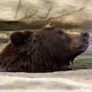 Bear Dip Poster