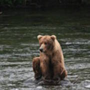 Bear Sitting On Water Poster