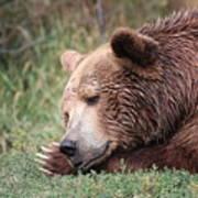 Bear Sleeping Poster
