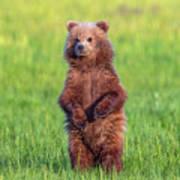Bear Standing Tall Poster