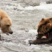 Bear Watches Another Eat Salmon In River Poster