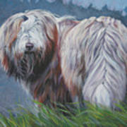 Bearded Collie In Field Poster