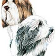 Bearded Collies Poster