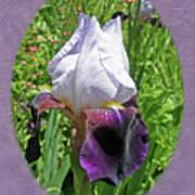 Bearded Iris Blossom Poster