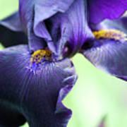 Bearded Iris Interpol Flower Poster