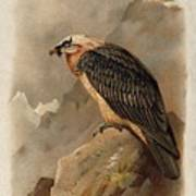 Bearded Vulture By Thorburn Poster