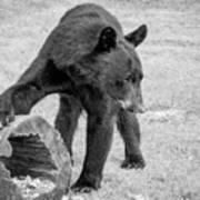 Bear's Log Stash Of Treats - Black And White Poster