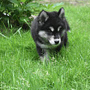 Beautiful Alusky Puppy Dog Walking Through Thick Green Grass Poster
