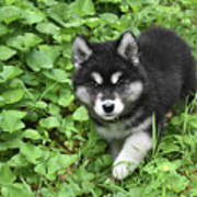 Beautiful Alusky Puppy Peaking Out Of Green Foliage Poster
