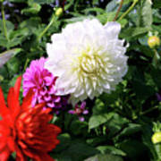 Beautiful And Fresh Dahlias In The Butchrt  Gardens,vancouver Island 1. Poster