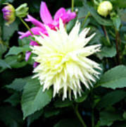 Beautiful And Fresh Dahlias In The Butchrt  Gardens,vancouver Island 2. Poster
