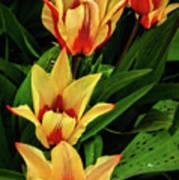 Beautiful Bicolor Tulips Poster