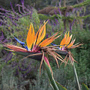 Beautiful Bird Of Paradise Flower In Bloom Poster