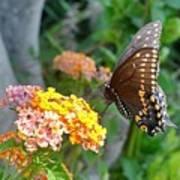 Beautiful Black Swallowtail Butterfly Poster