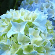 Beautiful Blue Hydrangea Floral Art Prints Creamy White Pastel Poster