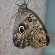 Beautiful Brown Morpho Butterfly Resting In A Butterfly Garden  Poster