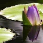 Beautiful Bud Reflection Poster