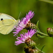 Beautiful Butterfly On Pink Thistle Poster