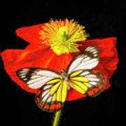 Beautiful Butterfly On Poppy Poster