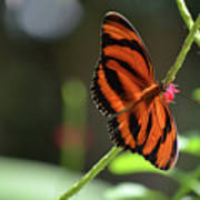 Beautiful Color Patterns To An Oak Tiger Butterfly  Poster