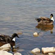 Beautiful Ducks Poster