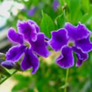 Beautiful Duranta Flower Blossoming Poster