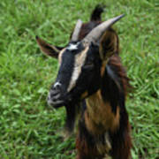 Beautiful Face Of A Billy Goat With Tan And Black Silky Fur Poster