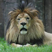Beautiful Face Of A Male Lion With A Thick Fur Mane Poster