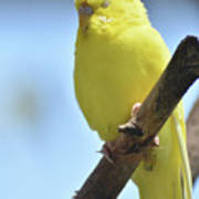 Beautiful Face Of A Yellow Budgie Bird Poster