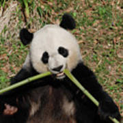 Beautiful Giant Panda Eating Bamboo From The Center Poster