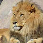 Beautiful Golden African Lion Relaxing In The Sunshine Poster