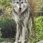 Beautiful Gray Wolf Poster