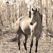 Beautiful Horse In Sepia Poster