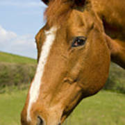 Beautiful Horse Portrait Poster by Meirion Matthias