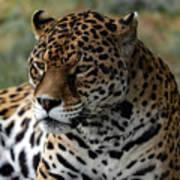 Beautiful Jaguar Portrait Poster