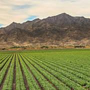 Beautiful Lettuce Field Poster