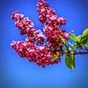 Beautiful Lilac Poster