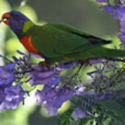 Beautiful Lorikeet Poster