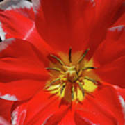 Beautiful Macro Of A Red Blooming Tulip Poster