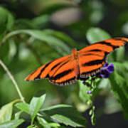 Beautiful Orange Oak Tiger Butterfly In Nature Poster