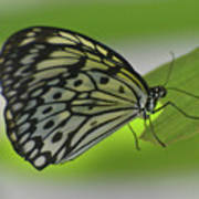 Beautiful Paper Kite Butterfly On A Green Leaf Poster