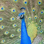 Beautiful Peacock Walking Around Poster