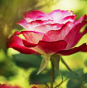 Beautiful Pink Rose Blooming In Garden Poster