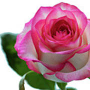 Beautiful Pink Rose With Leaves On A Wite Background. Poster