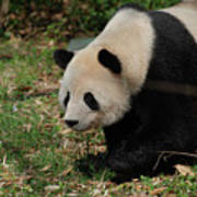 Beautiful Profile Of A Giant Panda Bear Ambling Along Poster