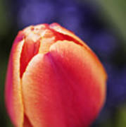 Beautiful Red And Orange Colored Tulip  Poster