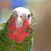 Beautiful Red Feathers On The Throat Of A Green Conure Bird Poster